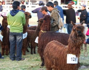 Farmers Showing Suri Alpacas, Huancaro Fair