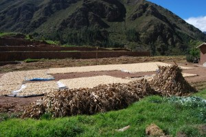 White Corn Drying, Sacred Valley