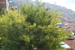 Capuli Tree on Rayni Season