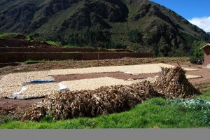 Corn Harvest Drying in the Sacred Valley