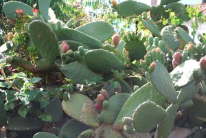 Prickly Pear with Tuna Fruit