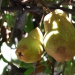 Pears on the Stem