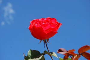 A Rose in the Sky