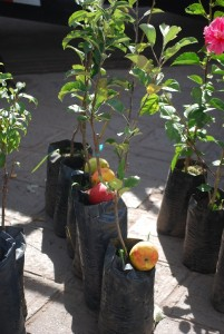Apple Tree Seedlings for Sale in Wanchaq