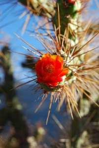 A Cactus Flower, Beauty amidst Thorns