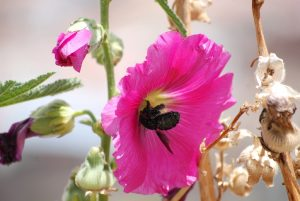 Hollyhock Showng Cuzco's Love of Flowers and their Meaning