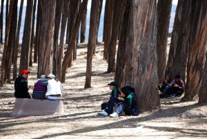 Big Eucalyptus Trunks with People