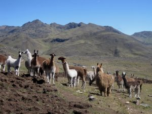 Alpacas and Llamas in Lares