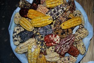 A Variety of Cuzco's Indigenous Corn
