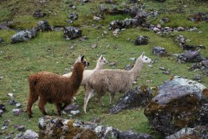 Alpacas by the Pass to Lares