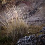 Bunch Grass Growing Near Cuzco (Photo: Alonzo Riley)