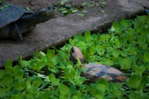 The Meeting of Two Tortoises