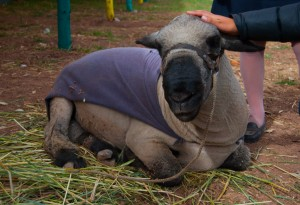 A Pure Breed Sheep (Photo: Wayra)