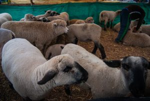 A Flock of Sheep and a Young Man (Photo: Wayra)