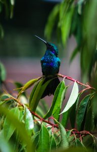 The Humming Bird Shines in Quechua (Photo: Wayra)