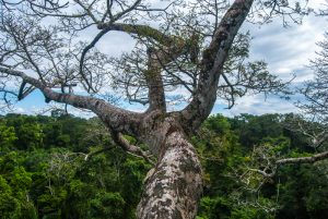 A Tree in the Jungle (Photo: Wayra)