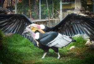 Duality of Andean Condor (Photo: Wayra)