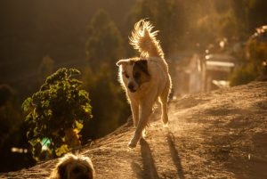 Dogs Are Special Pet in Cuzco (Photo: Wayra)