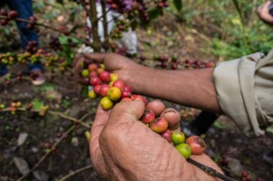 Coffee Cherries of Varying Ripeness (Wayra)Coffee Cherries of Varying Ripeness (Wayra)