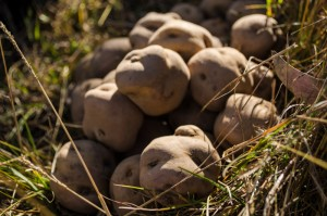 Peruanita Potatoes