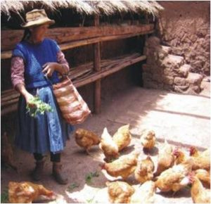 Chickens Raised at Home for Special Dinners (Walter Coraza Morveli)