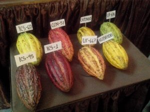 Variety of Cacao Pods
