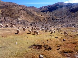 Alpacas in the Puna (Erick Rainer)
