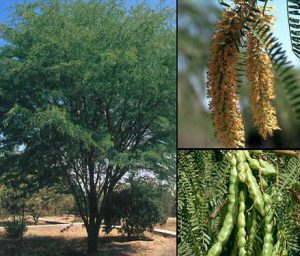 Algarrobo Tree and Its Fruit