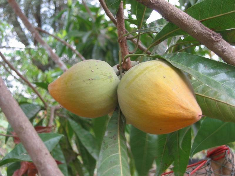 Lucuma Tree